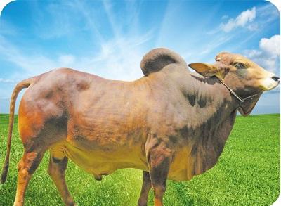 livestoc bull