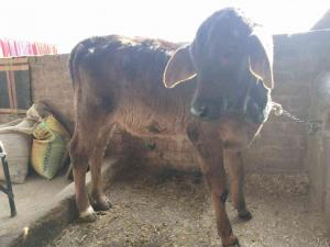 Pure Sahiwal Cow for Sale | Sahiwal Cattle for Sale at Best